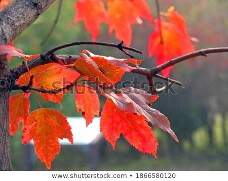 メイプル 葉 緑 赤 静脈 ストックフォト © davidgn