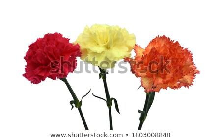 Yellow carnations Stock photo © ruzanna