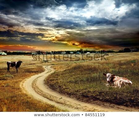 inekler · ülke · toprak · yol · avustralya · kırsal · tarım - stok fotoğraf © byjenjen