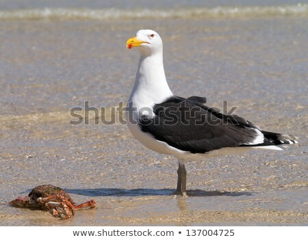 A big Great Black-backed Gull guarding a crab. Stock photo © latent
