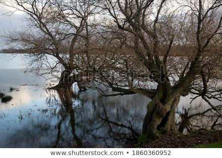Two willows stock photo © azjoma