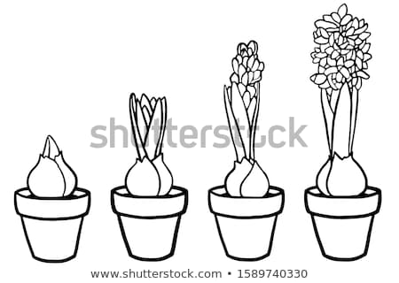 flower growth stages sketch stock photo © stevanovicigor