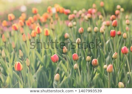 Amarelo laranja tulipa campo brilhante tulipas Foto stock © Kuzeytac