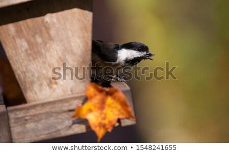 feeding black capped chickadee stock photo © ca2hill