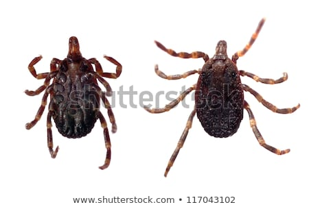 Tick - parasitic arachnid stock photo © lightpoet