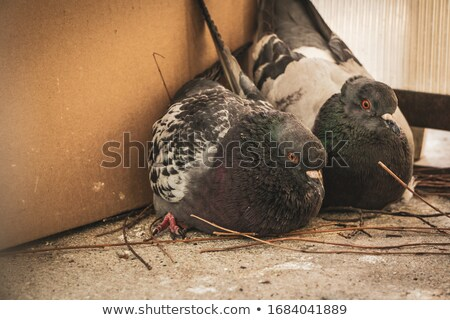feral pigeon in mating season Stock photo © taviphoto