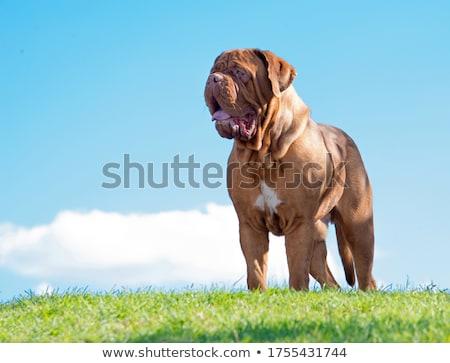 Bordeau kutyakölyök ül fehér kutya arc Stock fotó © willeecole