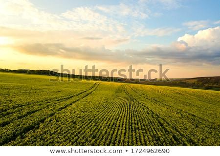 Virágok megművelt mezőgazdasági mező termény védelem Stock fotó © stevanovicigor