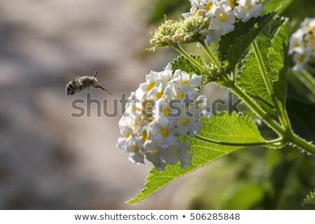 Mirtillo ape volare bella insetto bug Foto d'archivio © t3rmiit