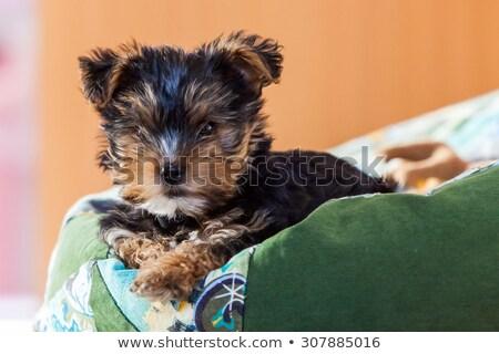 Mooie yorkshire terriër puppy hond Stockfoto © feedough