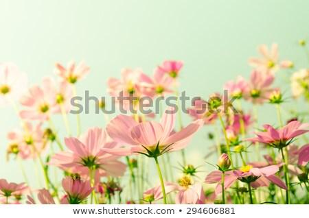 Stock photo: Pink Cosmos flower, Vintage stye