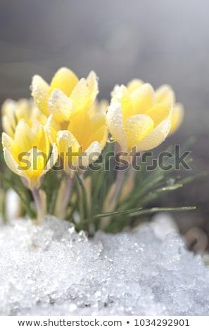 Stock fotó: Első · tavasz · kikerics · virágok · tájkép · napos