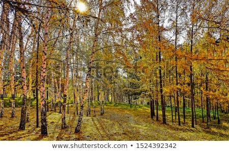 birch autumnal forest stock photo © nekiy