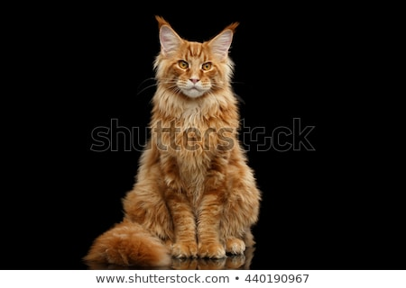 angry maine coon cat Stock photo © cynoclub