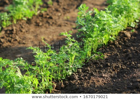 Freshly harvested bunch of young carrots Stock photo © ozgur