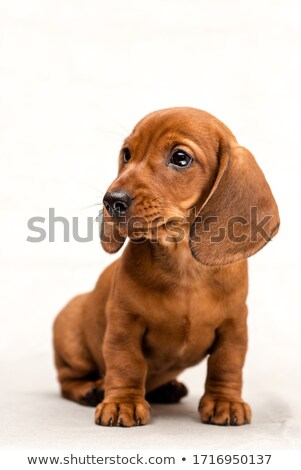 dachshund and Hungarian Vizsla in a studio Stock photo © vauvau