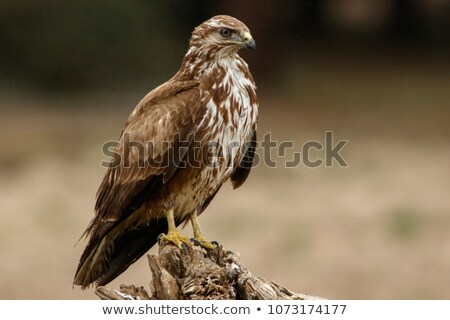 Common buzzard perched on a branch. Stock photo © asturianu