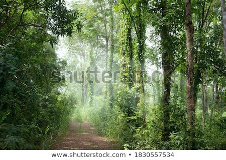 sunbeam in dense wild forest  Stock photo © meinzahn