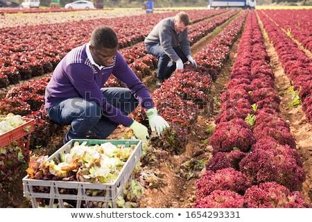 фермер · салата · органический · овощей · Фермеры · рук - Сток-фото © is2