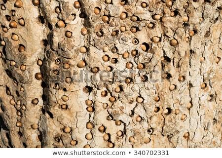 Tree with woodpecker holes stock photo © Mps197