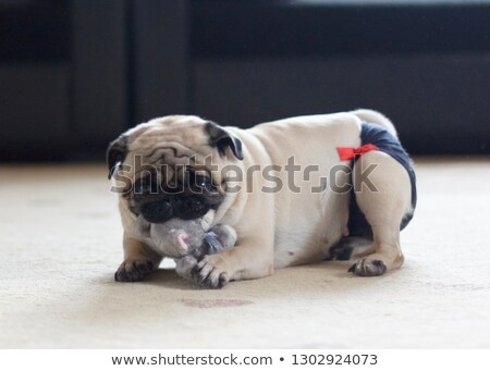 パンティー 犬 白 血液 女性 動物 ストックフォト © cynoclub