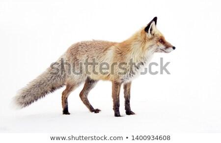 Inverno raposa imagem arte roupa seis Foto stock © clairev