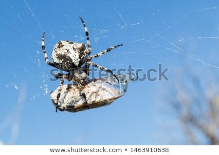 európai · kert · pók · kereszt · fajok · közelkép - stock fotó © foka