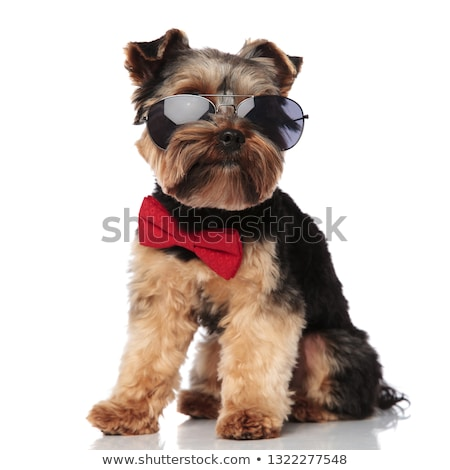 seated classy yorkie wearing sunglasses looks to side Stock photo © feedough