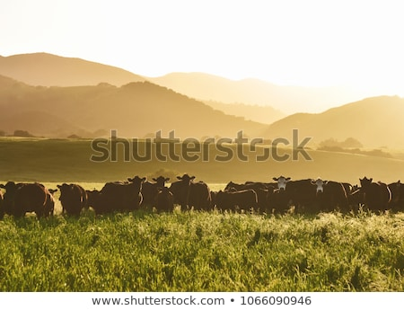 large livestock of cows grazes on an agricultural farmland in a stock photo © artjazz