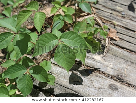 several poison ivy stalks stock photo © ca2hill