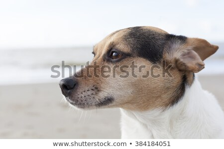 Studio shot of an adorable Fox terrier and a mixed breed dog Stock photo © vauvau