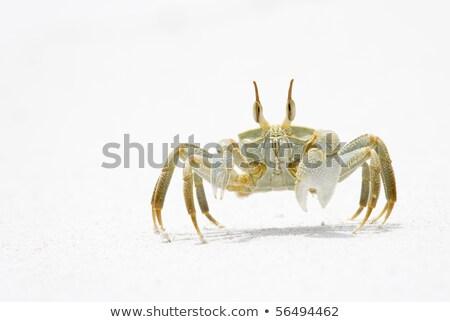 Fantasma caranguejo neve branco praia cópia espaço Foto stock © mdfiles