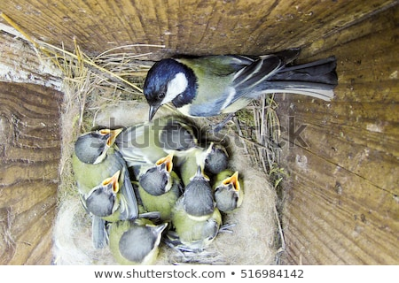 Great Tit fledgling Stock photo © suerob