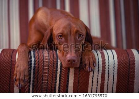retrato · cão · isolado · um · fundo · branco - foto stock © feedough