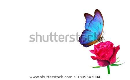 Borboleta sessão flor-de-rosa preto flor primavera Foto stock © bbbar