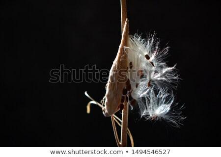 fluffy seed closeup Stock photo © prill