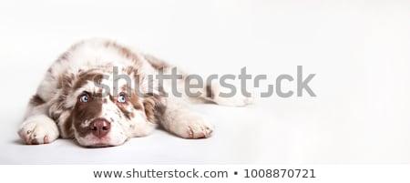 Chien yeux bleus coup Husky oeil Photo stock © marinini