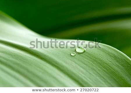 Stock photo: crystalline drops on leaf