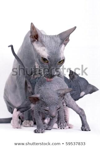 iki · kel · kediler · oynama · yalıtılmış · beyaz - stok fotoğraf © taden