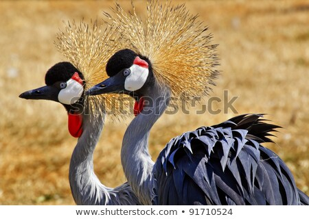 Sud grue Afrique oiseau noir Photo stock © Vectorex