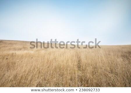 Dry grass field scene Stock photo © ryhor