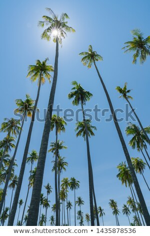 Сток-фото: Coconut Palm Tree Against Blue Sky Panoramic Composition