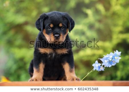 Kutyakölyök rottweiler portré fajtiszta fehér fekete Stock fotó © cynoclub