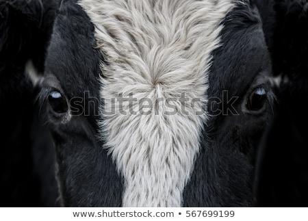 Krowy shot patrząc kamery Zdjęcia stock © jaykayl