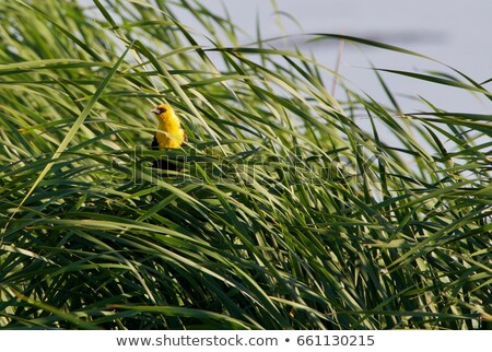 yellow headed blackbird stock photo © devon