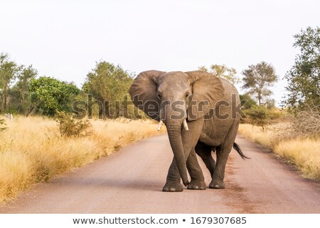 big elephant front view in national wild park south africa stock photo © compuinfoto