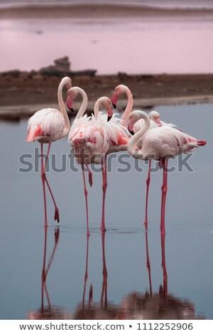 flamingo · Namibya · kuş · su · aile · çöl - stok fotoğraf © imagex