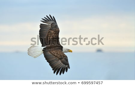 bald eagle overhead stock photo © searagen