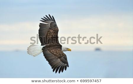 Bald Eagle Overhead Stock photo © searagen