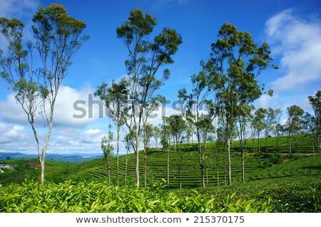 Impressive Landscape Dalat Vietnam Tea Plantation Foto stock © xuanhuongho